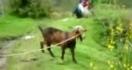 Les chèvres ne sont vraiment pas normales