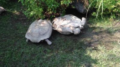 Comment fait une tortue lorsqu'elle est sur le dos ?