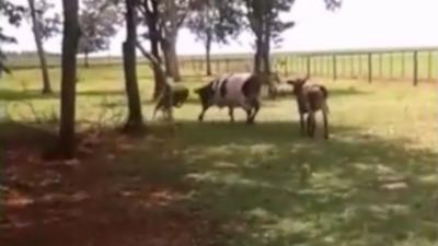 Un mouton et une vache s'affrontent dans un duel à coup de tête et un des deux va finir KO