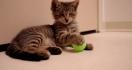 Un chaton aveugle touche un jouet pour la première fois