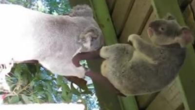 Avez-vous déjà vu des koalas se battre ?