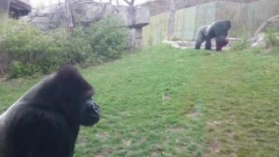 Quand un gorille lance une violente attaque dans un zoo, il faut courir vite