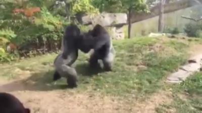 Avez-vous déjà vu des gorilles se battre ?