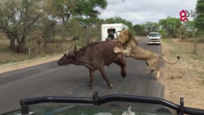 Plusieurs lions attaquent un buffle sous les yeux des touristes