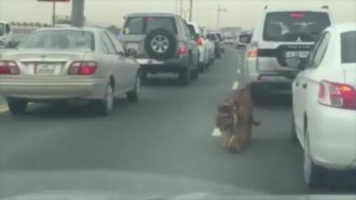 Un tigre en liberté sur une autoroute du Qatar