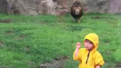 Quand un lion attaque un enfant par derrière dans un zoo