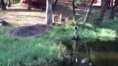 Ivre, il rentre dans l'enclos des lions pour leur toucher la patte