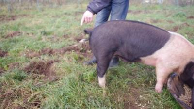 Comment redresser la queue en tire-bouchon d'un cochon ?