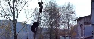 Un ours essaie d'attraper un Russe en haut d'un arbre