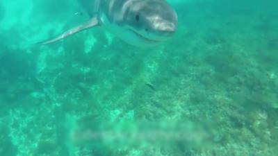 Un plongeur nage paisiblement lorsque soudain un grand requin blanc le bouscule