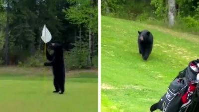 Un ours s'incruste sur un parcours de golf pendant une partie entre deux hommes