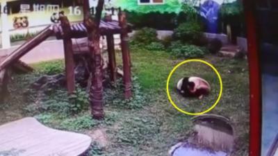Un idiot va rapidement regretter de rentrer dans l'enclos d'un panda dans un zoo en Chine