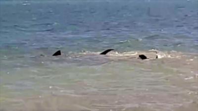 Un chien fonce dans l'eau pour aller attaquer un requin qui se trouve en bord de plage