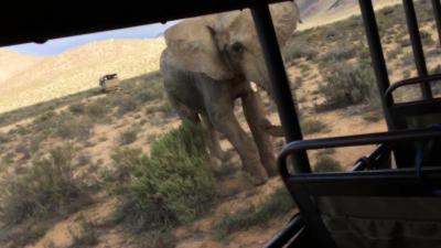 Un éléphant charge un bus rempli de touristes pendant un safari