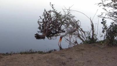Un crocodile bondit hors de l'eau pour attaquer une cigogne