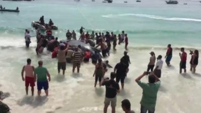 Des baigneurs sauvent un baleineau échoué une plage de Rio de Janeiro