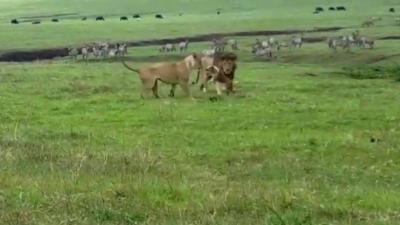 Quand un chien se met à attaquer des lions
