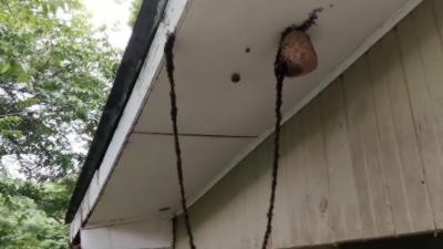 Une colonie de fourmis attaque un nid de guêpes en formant une chaîne
