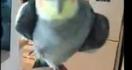 Un perroquet qui chante du Dubstep
