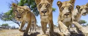 Prendre des photos de lions de très près