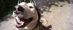 Silver le chien adore l'appareil de massage de tête