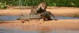Un Jaguar attaque un Alligator dans les zones humides du Brésil