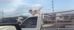 Un chien fait sa ballade sur le toit d'une voiture qui roule