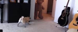 Ne jamais effrayer un chien avec un ours en peluche, parce qu'il va se venger