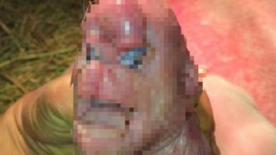 En Chine, un cochon mutant est né avec un pénis sur le front