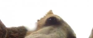 Quand un ours essaie de manger une GoPro