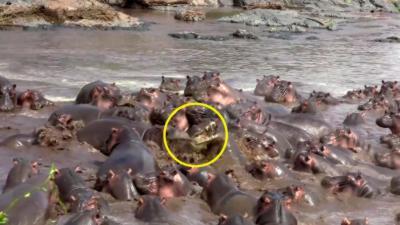 Un troupeau d'hippopotame attaque un crocodile qui s'incruste dans un plan d'eau