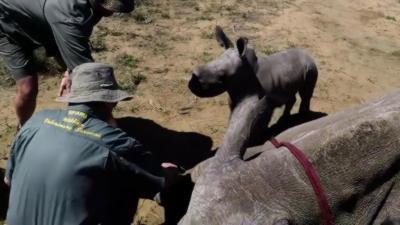 Un bébé rhinocéros charge des vétérinaires pour protéger sa mère