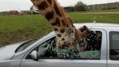 Une girafe explose la vitre d'une voiture en passant la tête à l'intérieur de la voiture