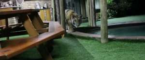 Jouer à 1, 2, 3 soleil avec un tigre