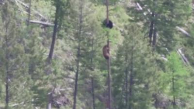 Bataille d'ours en haut d'un arbre pour sauver un ourson