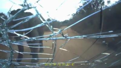 Un éléphant attaque une voiture et défonce une vitre