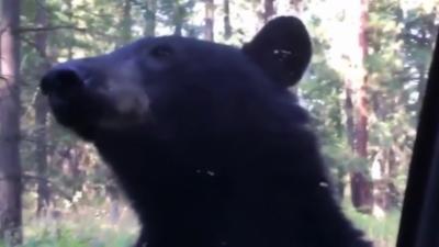 Un ours monte sur une voiture pour aller saluer le conducteur