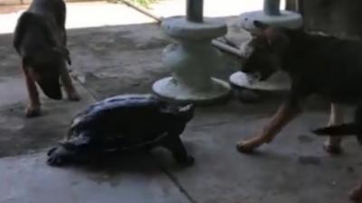 Une tortue se bat contre deux chiens