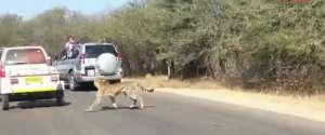 Une antilope saute dans une voiture pour échapper aux guépards
