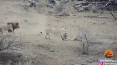 Deux lionnes attrapent un phacochère, un lion arrive et fait tout foirer