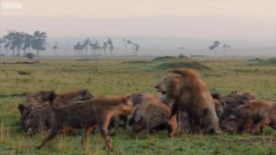 Un lion se fait sauvagement attaquer par une meute de hyènes