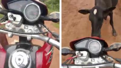 Un motard s'amuse à faire des wheelings quand une vache surgit sur sa route
