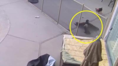 Un faucon attaque un yorkshire dans un jardin