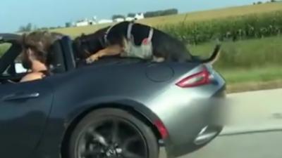 Un pauvre chien doit s'agripper à l'arrière d'une décapotable pour ne pas tomber