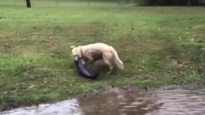 Un chien attrape un poisson-chat de sa taille et le traîne hors du lac
