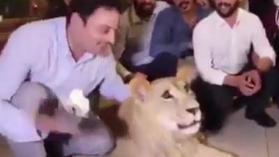 Il entarte une lionne pour fêter son anniversaire