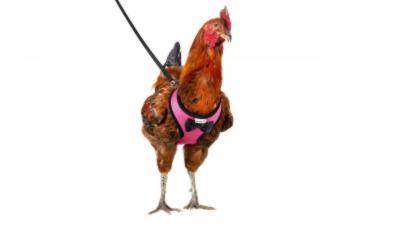 Vous pouvez désormais promener votre poule grâce à ce magnifique harnais pour seulement 17¤