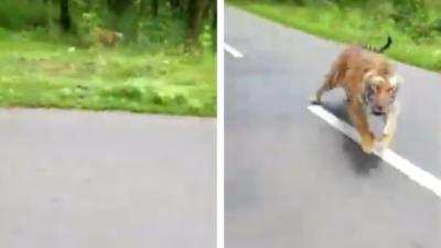 Deux hommes à moto se font pourchasser par un tigre