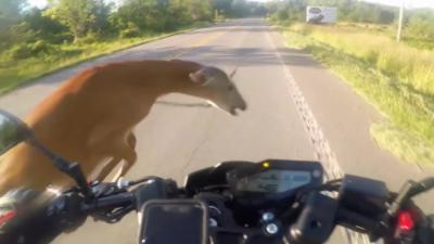 Un motard renverse une biche à 80 km/h