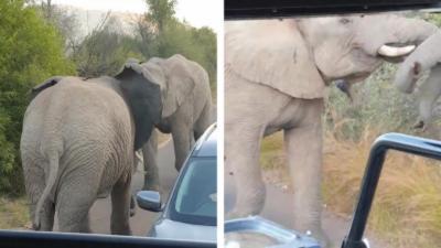 Deux éléphants se battent en plein milieu de la route